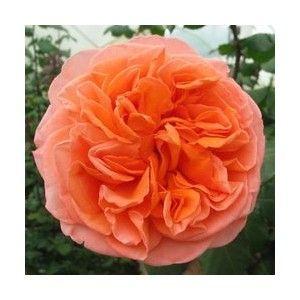 Coral Garden Rose 107 best coral colour garden images on pinterest | flowers