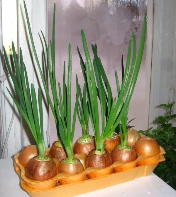 Как вырастить на подоконнике зеленый лук