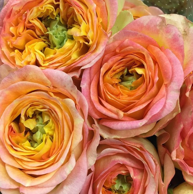 Roses In Garden: 17 Best Images About Dahlias And Roses On Pinterest