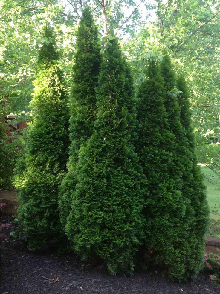 The 25 best thuja emerald green ideas on pinterest for Arborvitae garden designs