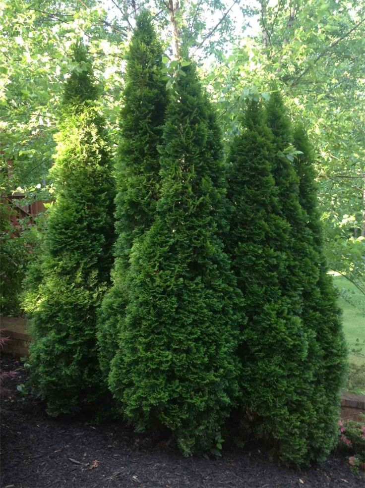17 best ideas about thuja emerald green on pinterest emerald arborvitae green giant tree and. Black Bedroom Furniture Sets. Home Design Ideas