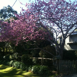 Spring is on it's way. Tamborine Mountain is almost at its blooming best.  Don't forget the Springtime on the Mountain Festival 28 - 30 Sept. We have a couple of vacancies  Look us up www.lissongrove.com.au