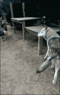4gifs:  That moment when you hope the wolf isn't too hungry. [via]
