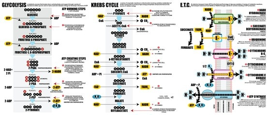 Glycolysis, Krebs Cycle & The Electron Transport Chain. I created this as a study guide for a difficult Biology class.