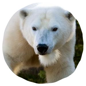 My students have so much fun watching the animals! Polar Cam | San Diego Zoo