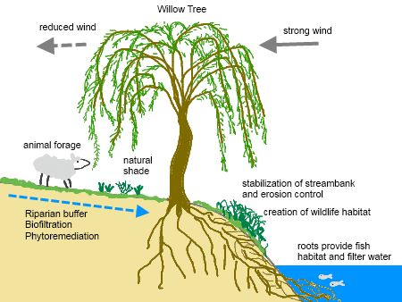 As if I needed a reason to want willow trees.  More on permaculture -- each element performs multiple functions.