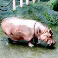 Bye-bye Bertha: Worlds oldest hippo dies at Manila Zoo #philippines #news http://ift.tt/1CijO2m