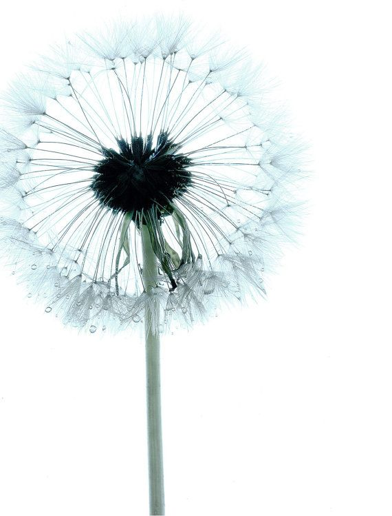 Dwarf Dandilion (I), 8 x 10, Contemporary Botanical Nature Print - Desaturated Blue, Green and White Image