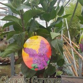Syringa Vulgaris-Lilac 'Ludwig Spath' 5 Litre