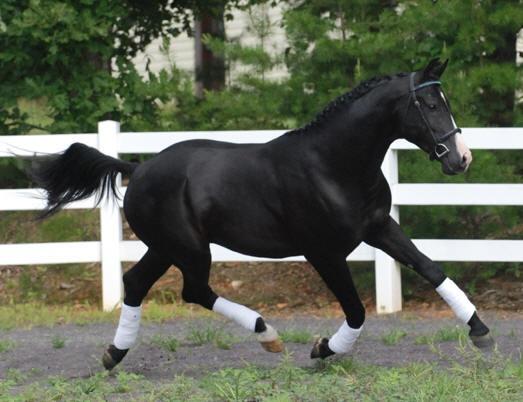 """Oldenburg - Saint Sandro 07' Black Oldenburg Stallion 15.3 3/4"""" hands"""