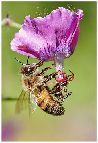 This is what a normal honey bee looks like. There again it also looks like an Africanized honey bee but still a honey bee.