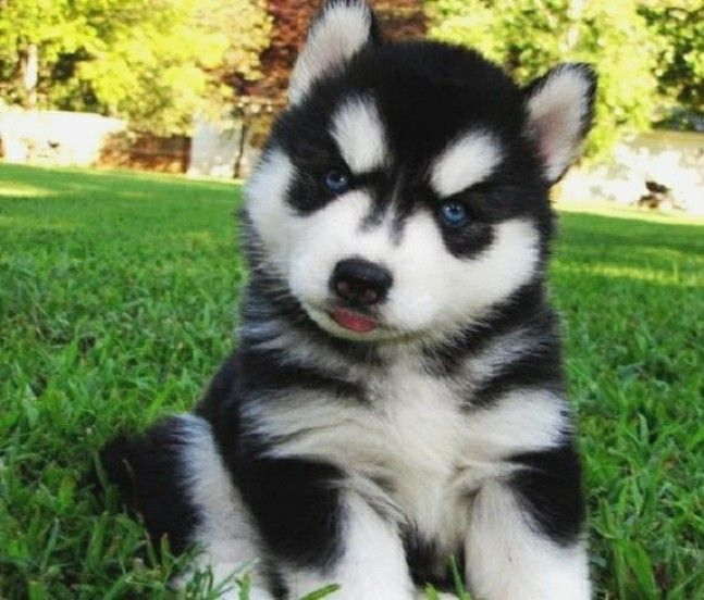 Siberianhusky Siberian Husky Puppies Husky Puppies For Sale
