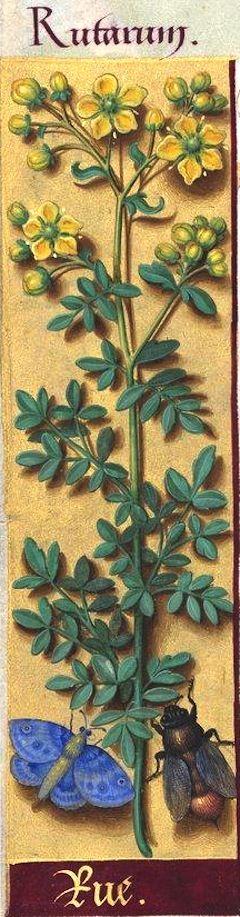 Rue - Rutarum (Ruta graveolens L. = rue des jardins) -- Grandes Heures d'Anne de Bretagne, BNF, Ms Latin 9474, 1503-1508, f°92v