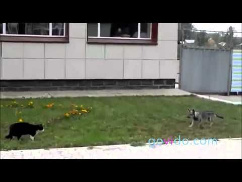 Best Funny Animal Videos :::  Visit us on www.govido.com to find THE FUNNIEST ANIMAL VIDEOS 2014 Funny Videos, Funny video 2014: cat, cats, dog, dogs, funny dogs, sweet dogs, animal, cute, pets, funny animals, puppies, PLUS: monkey, frog, kangaroo, buffalo, deer, bear, fish, ... and more! Hilarious short videos to make you laugh! :::