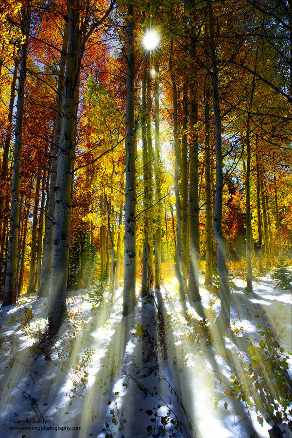 ☀Sun Rays by Greg Boratyn on 500px ~ Aspen trees in the Fall time, Colorado.**