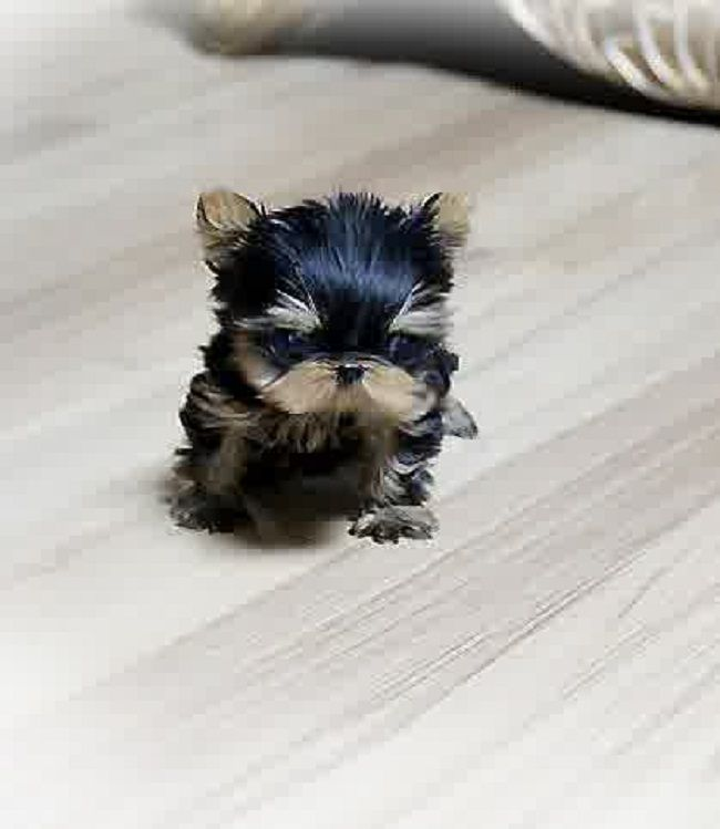 micro teacup puppies for sale