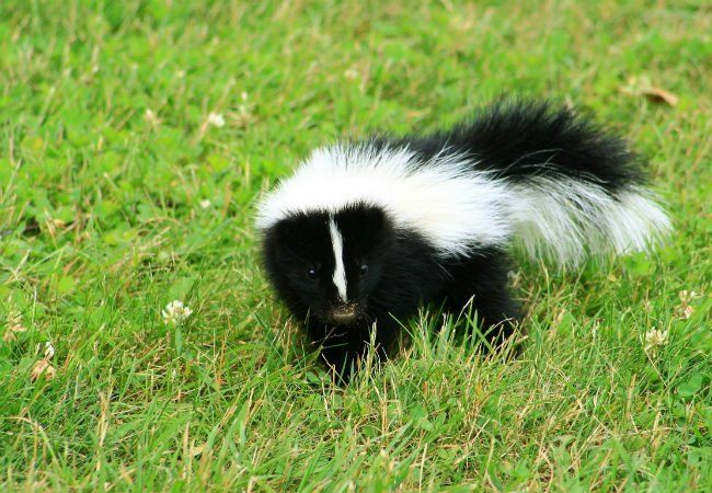 how to clean skunk spray