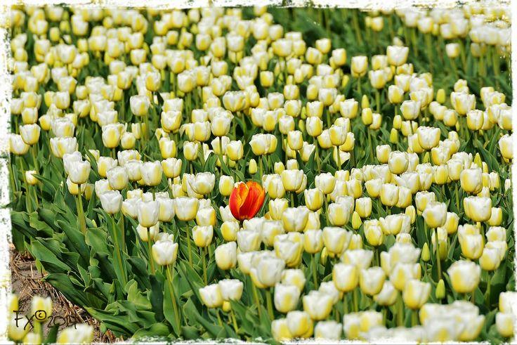 Einzelgänger Rote Tulpe in Weissen Acker