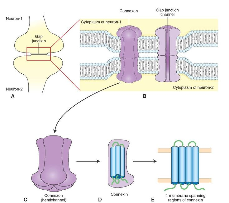 Morphology of a gap junction. (A) Gap junction. (B) Gap junction channel. (C) Hemichannel (connexon). (D) Connexin. (E) Membrane-spanning regions of connexin.