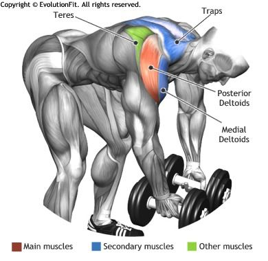 SHOULDERS -  BENT OVER DUMBLLE REAR DELT RAISE                                                                                                                                                                                 More