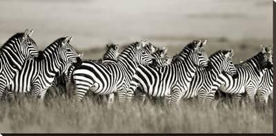 Grant's zebra, Masai Mara, Kenya Stretched Canvas Print by Frank Krahmer at Art.com
