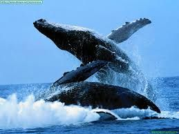Resultado de imagen de imagenes de ballenas gigantes