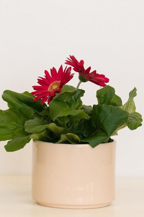 A Tender Herbaceous Perennial In Cooler Regions An Annual