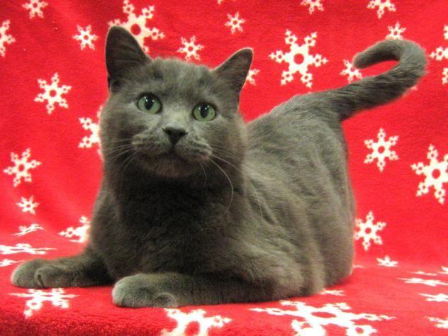Adopt Tundra On Grey Cats Mama Cat Russian Blue