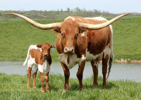Texas Longhorn WOW!