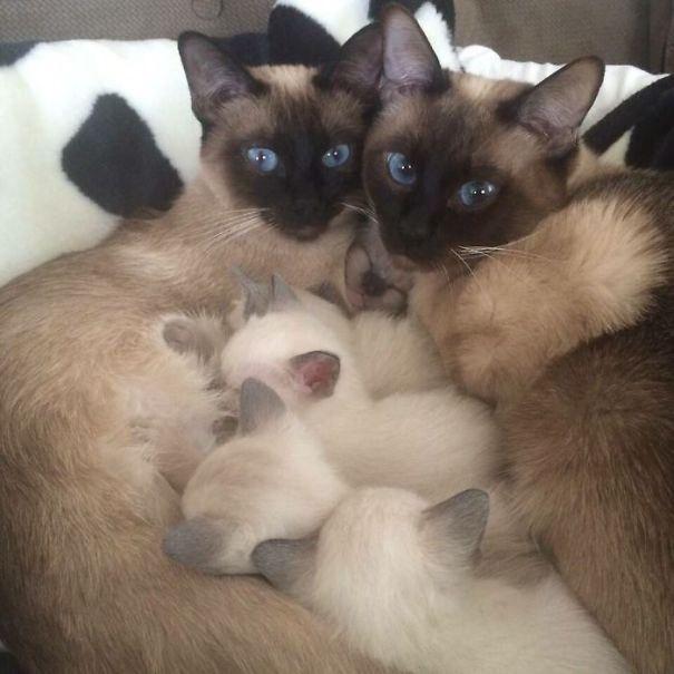 10. Deux photos vraiment mignonnes avec la deuxième chatte qui se laisse totalement envahir par ses petits