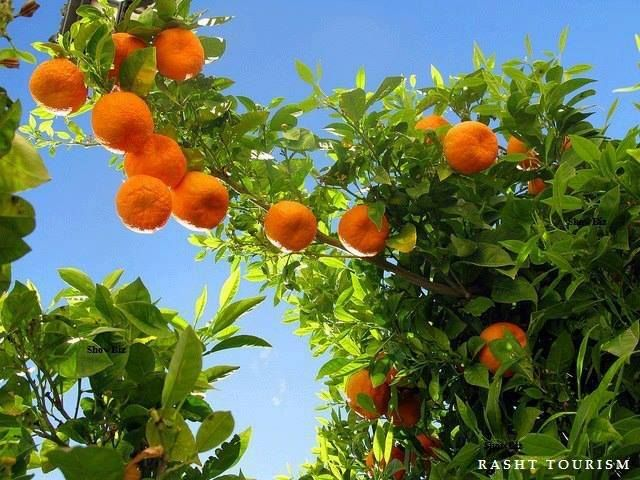 Tangerine trees are aboundant in Guilan.