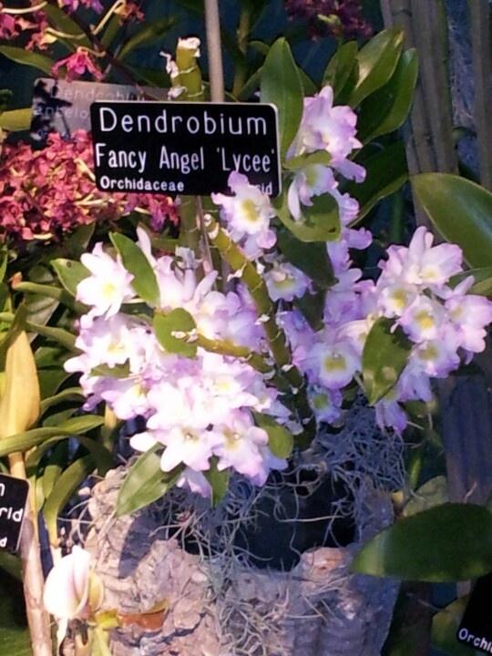 Dendrobium Orchidaceae, Orchids, Plants