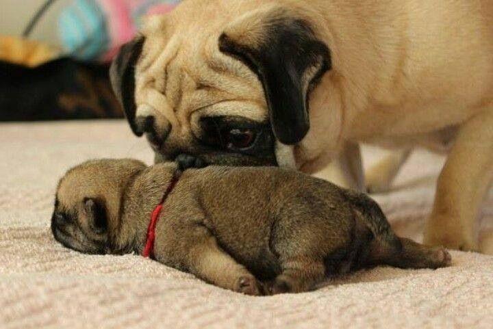 Mama pug says: Dis came out of me??