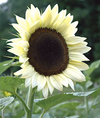 """Sunflower, Coconut Ice Hybrid. There is something new under the sun, and it's this extraordinary new white sunflower. Standing 5'-6' tall the single-headed flowers with black centers are 4""""-8"""" across. The petals start out a rich creamy vanilla and gradually transition to white.   Stunning, so pretty!!"""