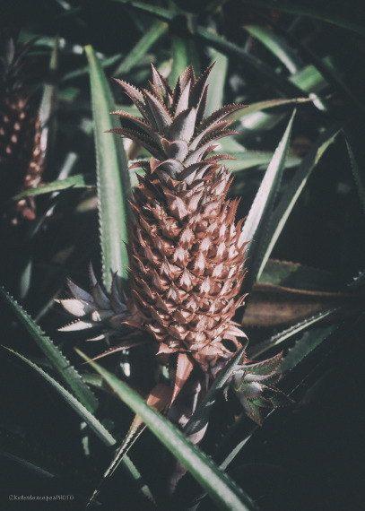 Hawaii photography,original art print Pineapple photo Tropical picture wall art artwork print décor by KaleidoscopesPHOTO2 on Etsy