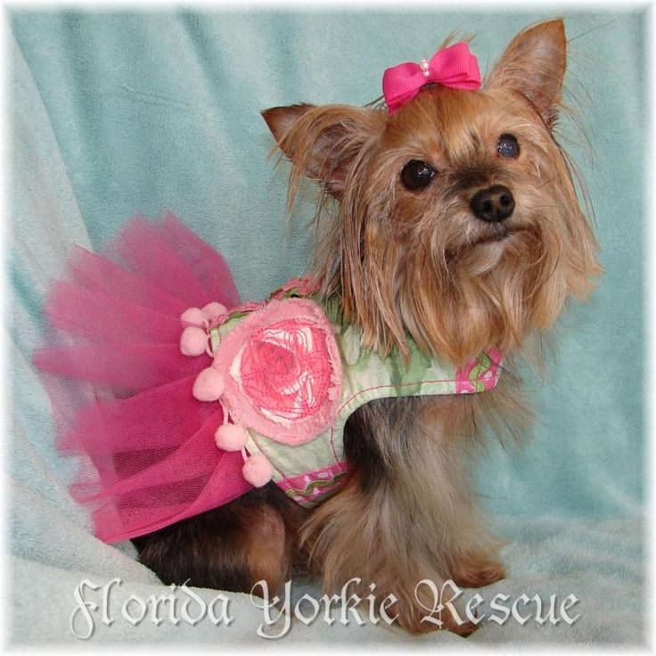 yorkshire terrier for adoption 1000 images about we need a loving home on pinterest 2820
