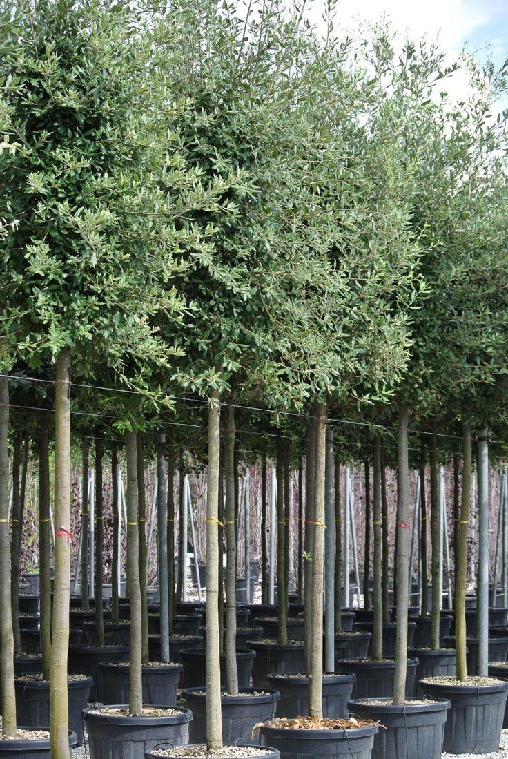 Goedkoper en winterhard Alternatief voor een olijfboom. Steen eik Quercus ilex…