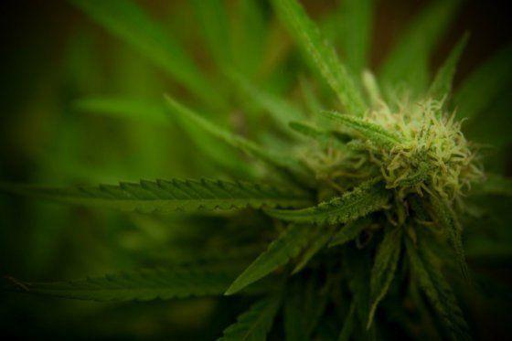 Corte Suprema advierte que tener 20 plantas de marihuana no es un delito