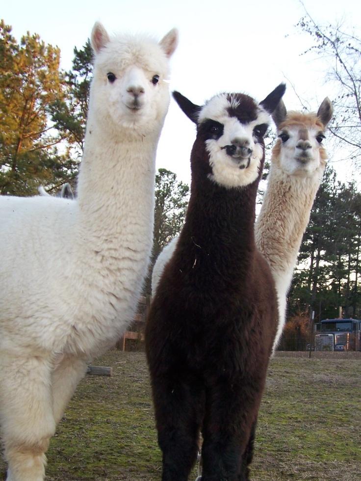 raise alpacas for fun and profit