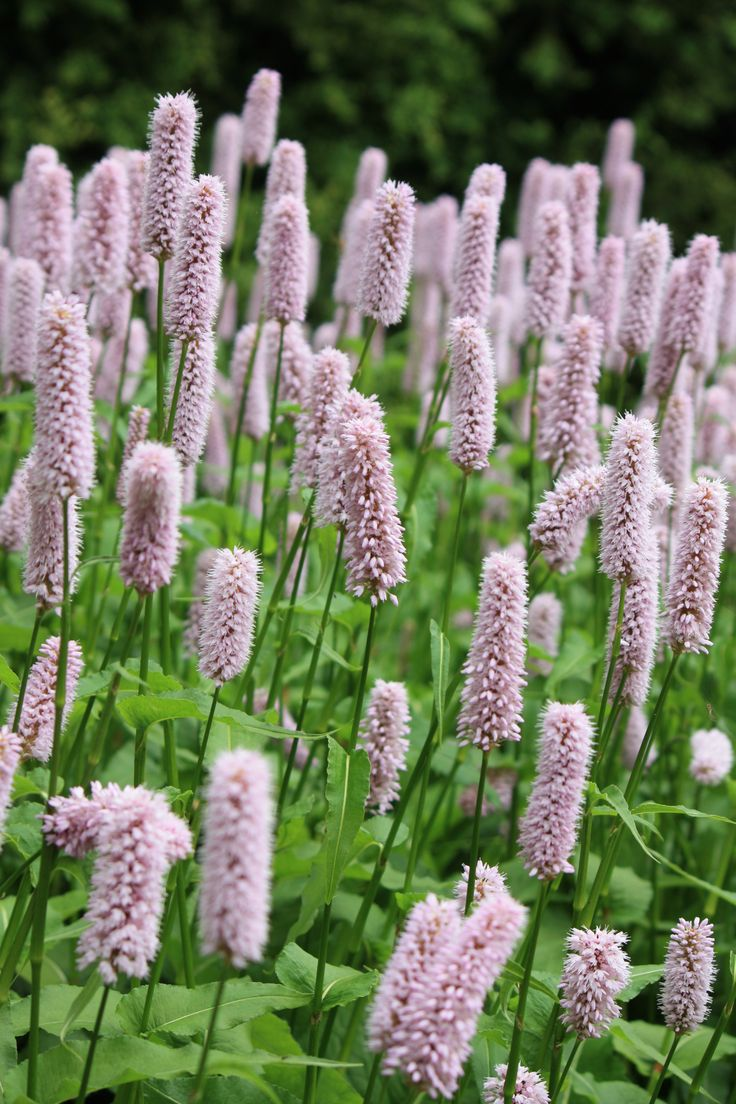 With flowers like bottle brushes, Persicaria bistorta 'Superba' makes a fine herbaceous perennial, flowering over a long period. Persicaria does not like dry soil, so is best planted in a bog garde...