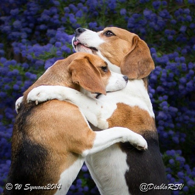 Give Me A Big Hug Bro Beagles Dogs Cute Beagles Beagle