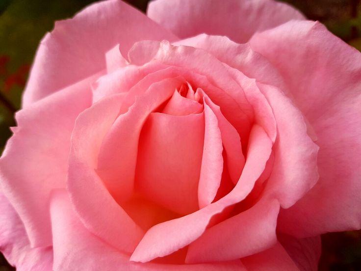 Beutiful pink rose
