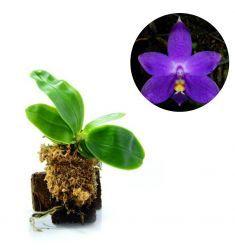 """Phalaenopsis Violacea """"Blue"""" Rp 1,200,000"""