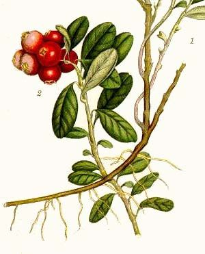 Botanical Illustration of Vaccinium vitis-idaea from Bilder ur Nordens Flora, 1905 - See more at: http://pilladvised.com/herb-guide/cranberry-know-what-herbs-do-what/#sthash.EWmdmYiF.dpuf