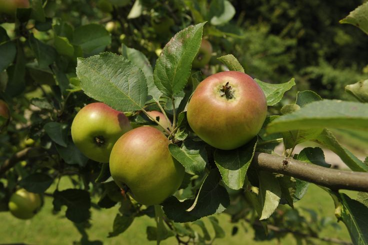 Bramley apple. Vardeæble, Bramley Seedling. Historical gardens and variety of apples at the open air museum.
