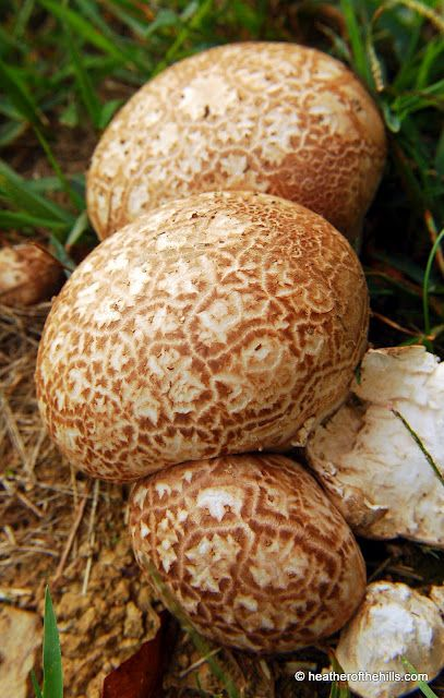 puffball - we get great puffballs in our yard when the conditions are right. They are fun to play with and will shoot out spores for a long, long time!
