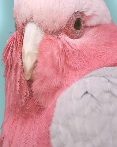 Pink parrot.