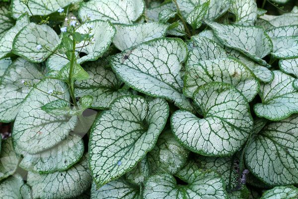 P17 Brunnera macrophylla 'Jack Frost' or 'Looking Glass' - silver dusted foliage & delicate blue flowers on tall stems in spring