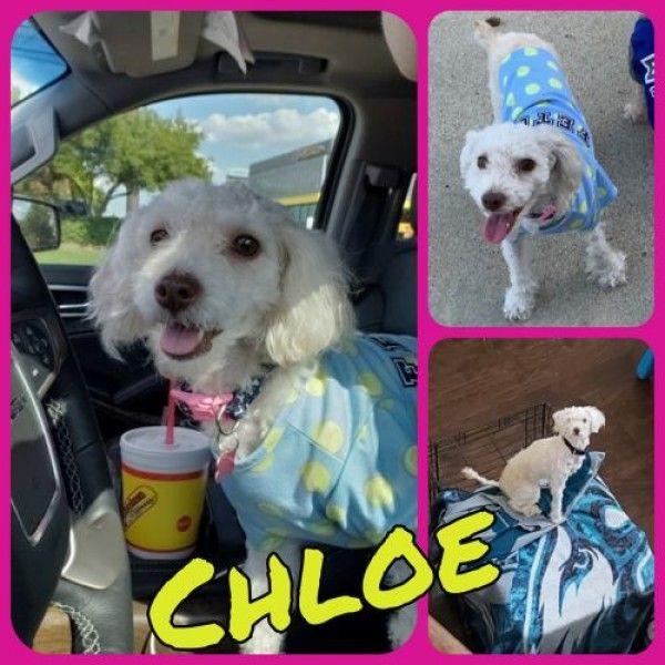 Poodle Dog For Adoption In Burleson Texas Chloe In Burleson
