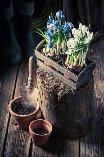 young blue hyacinth in an old wooden workshop